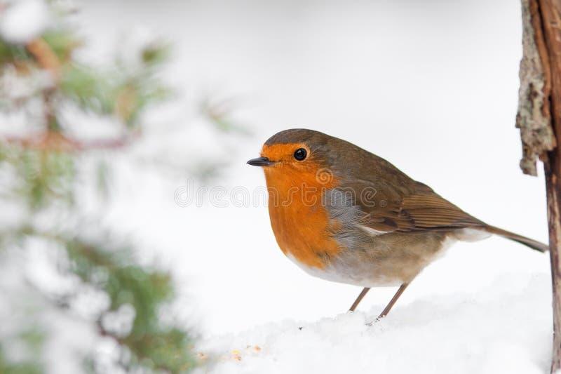 L'hiver Robin de Noël dans la neige avec l'arbre de pin photo libre de droits