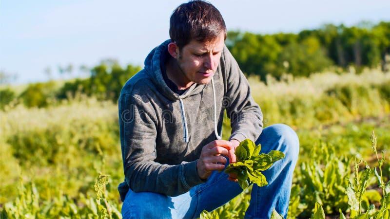 L'homme d'agriculteur déchire l'oseille des lits et rassemble les feuilles dans un groupe photographie stock libre de droits