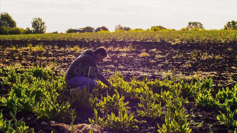L'homme d'agriculteur déchire l'oseille des lits et rassemble les feuilles dans un groupe photos libres de droits