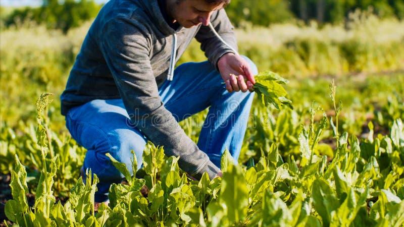L'homme d'agriculteur déchire l'oseille des lits et rassemble les feuilles dans un groupe image stock