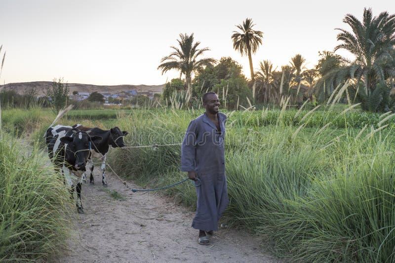 L'homme de Nubian apportant ses bétail de retour autoguident au crépuscule, Assouan, Egypte photos stock
