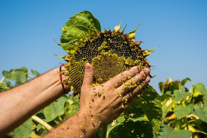 L'homme essaye les graines de tournesol dans sa main, analysant la plénitude et la qualité Le concept de l'engrais, protection de images stock