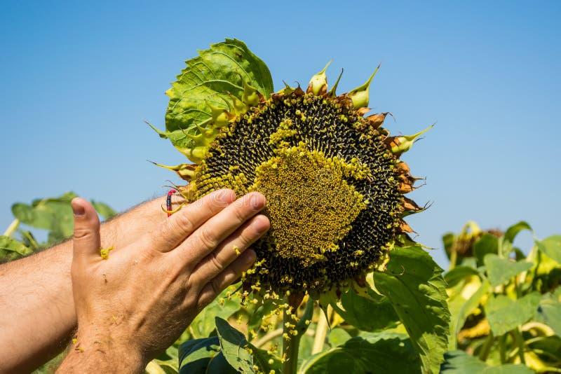 L'homme essaye les graines de tournesol dans sa main, analysant la plénitude et la qualité Le concept de l'engrais, protection de photo stock