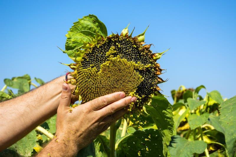 L'homme essaye les graines de tournesol dans sa main, analysant la plénitude et la qualité Le concept de l'engrais, protection de photographie stock libre de droits