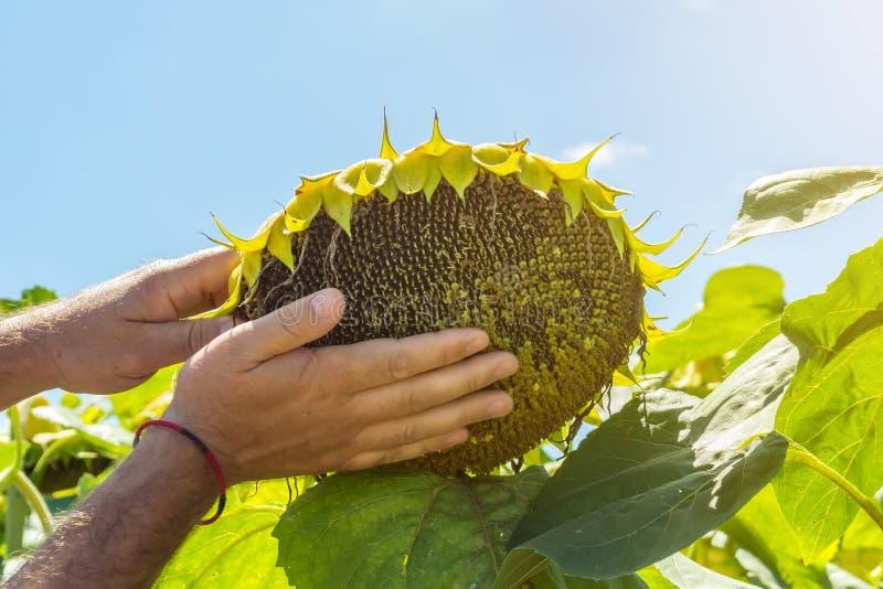 L'homme essaye les graines de tournesol dans sa main, analysant la plénitude et la qualité Le concept de l'engrais, protection de photos stock