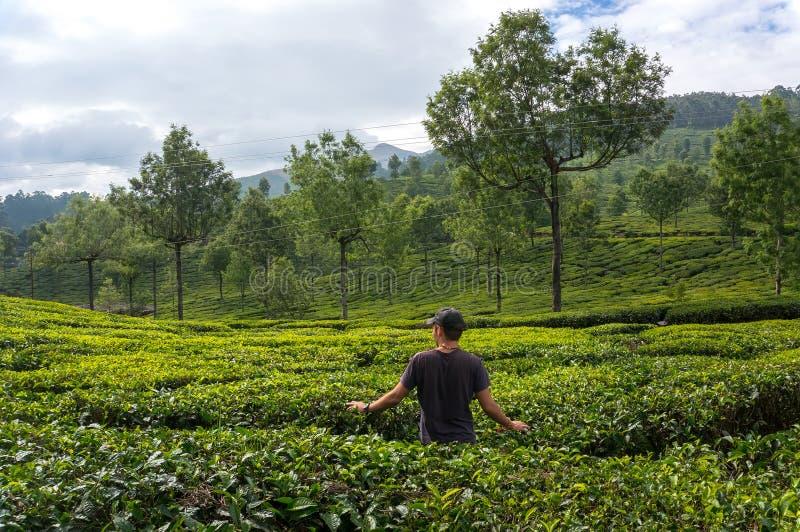 L'homme marche par des plantations de thé dans les montagnes de la jeune mariée dans le thé vert et admire image libre de droits