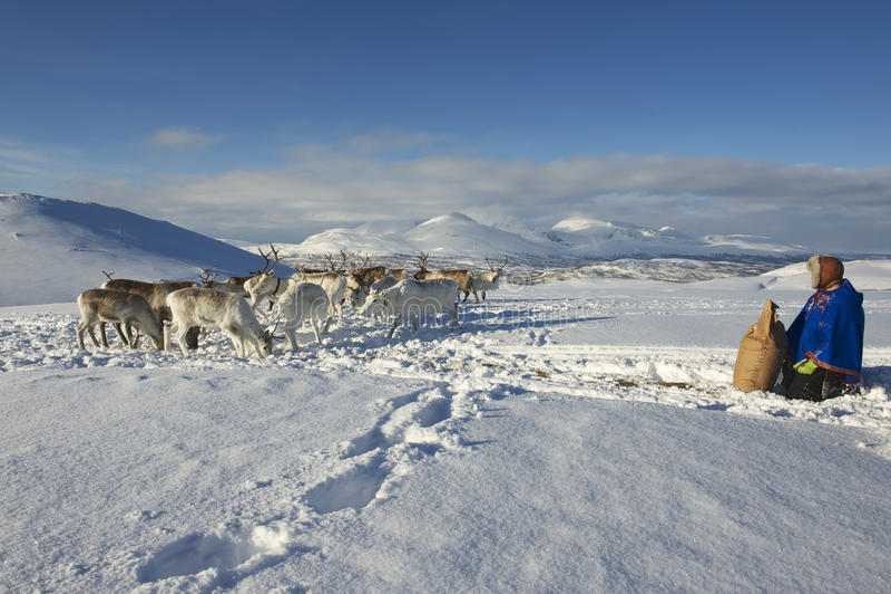 L'homme non identifié de Saami apporte la nourriture aux rennes en hiver profond de neige, région de Tromso, Norvège du nord photo libre de droits