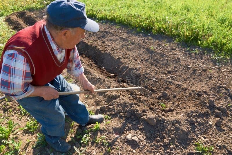 L'homme plus âgé enterre de jeunes pommes de terre dans le sol avec un râteau dans le jardin image libre de droits