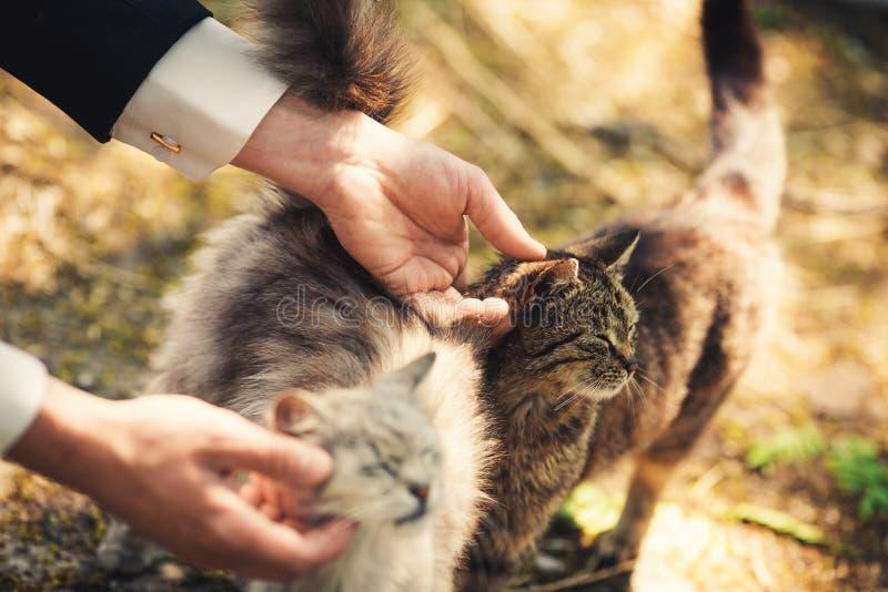 L'homme repasse des chats image libre de droits