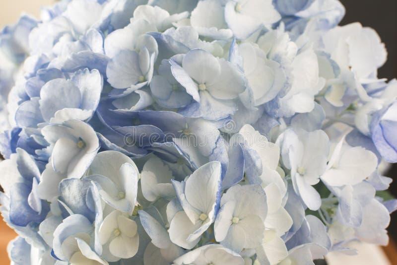 L'hortensia bleu de plan rapproché fleurit plein cadre photo stock