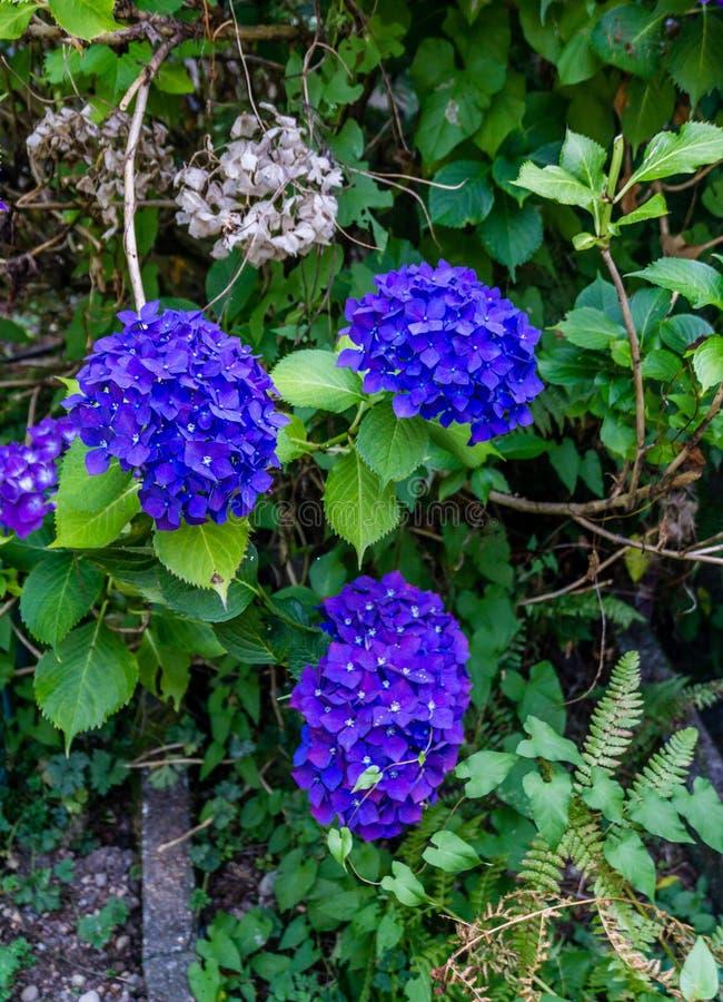 L'hortensia bleu fleurit le plan rapproché 2 image stock