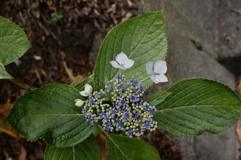 L'hortensia de montagne, errata d'hortensia photographie stock