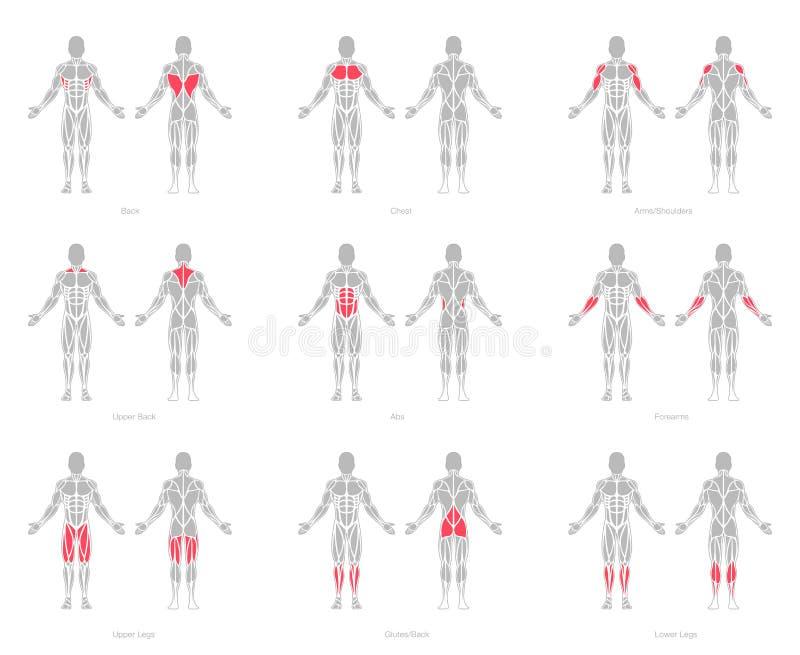 L'humain muscles le vecteur de modèle d'anatomie illustration libre de droits