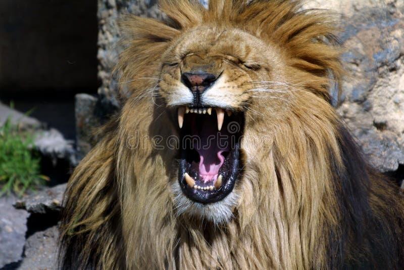 L'hurlement du lion photographie stock libre de droits