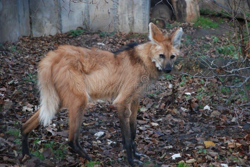 L'hyène orange vous regarde avec les yeux formidables et adroits photo libre de droits