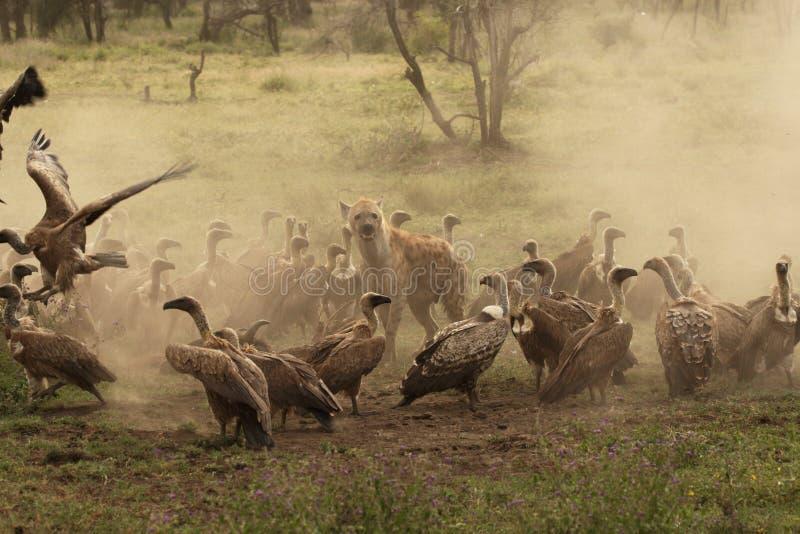 L'hyène repérée garde une mise à mort tandis qu'encerclé par des vautours dans Ndutu photos libres de droits