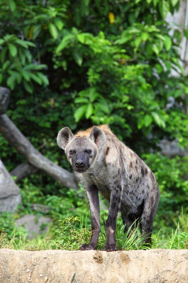 L hyène sont regard fixe à nous avec le fond de forêt