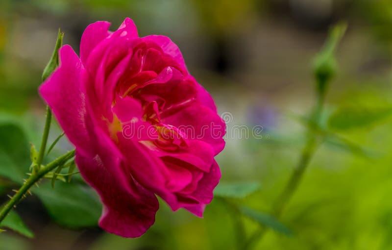 l'hybride Rose-jaune s'est levé photographie stock