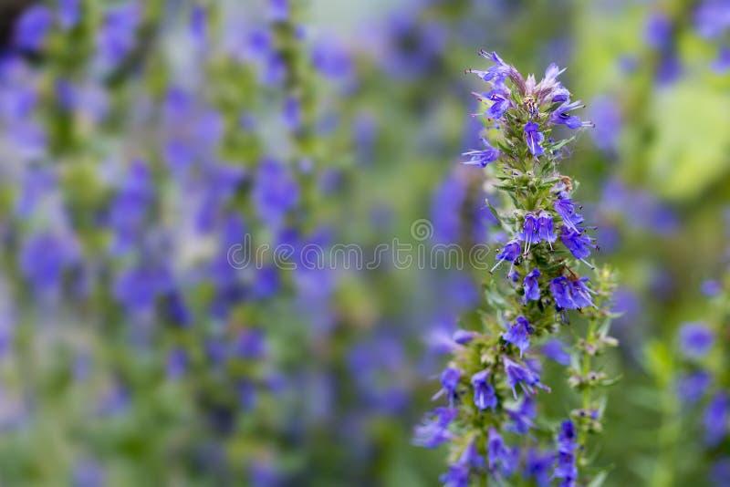 L'hysope fleurit dans le jardin d'herbes aromatiques, fond brouillé photographie stock