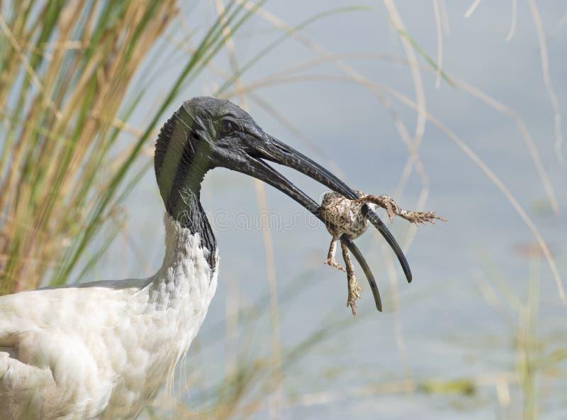 L'ibis ha un pasto di grande rana immagini stock libere da diritti