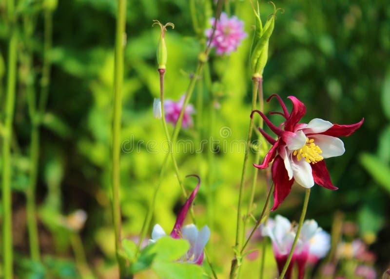 L'ibrido molto bello di Aquilegia ha fiorito immagini stock