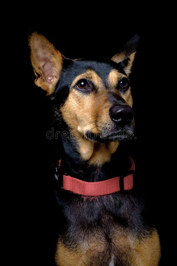 L'ibrido smarrito ha salvato il cane tailandese che riposa il fondo nero molle immagine stock libera da diritti