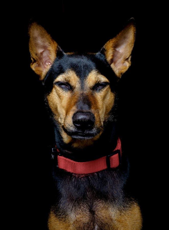 L'ibrido smarrito ha salvato il cane tailandese che riposa il fondo nero molle immagini stock