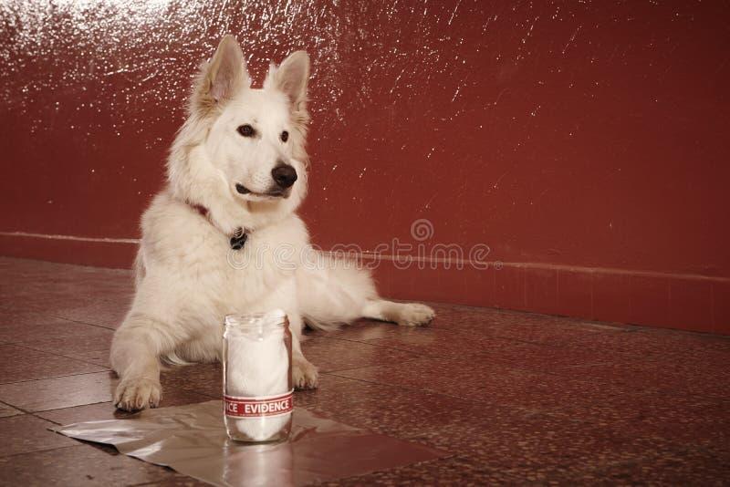 L'identificazione accertata dell'odore della vittima rintraccia dal cane poliziotto su posizione immagini stock libere da diritti