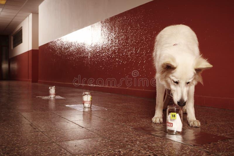 L'identificazione accertata dell'odore rintraccia dal cane poliziotto su posizione fotografia stock