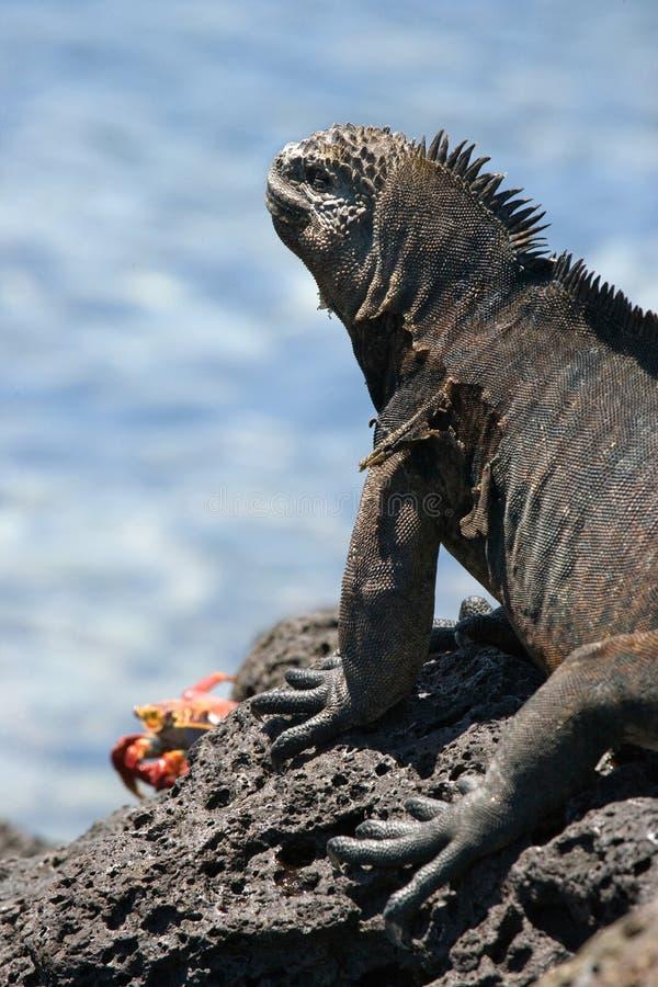 L'iguana marina che si siede sulle rocce Le isole di Galapagos Oceano Pacifico l'ecuador fotografia stock