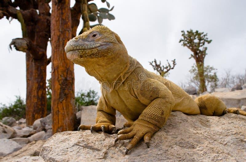 L'iguane de terre se reposant sur les roches Les îles de Galapagos L'océan pacifique l'equateur photos libres de droits