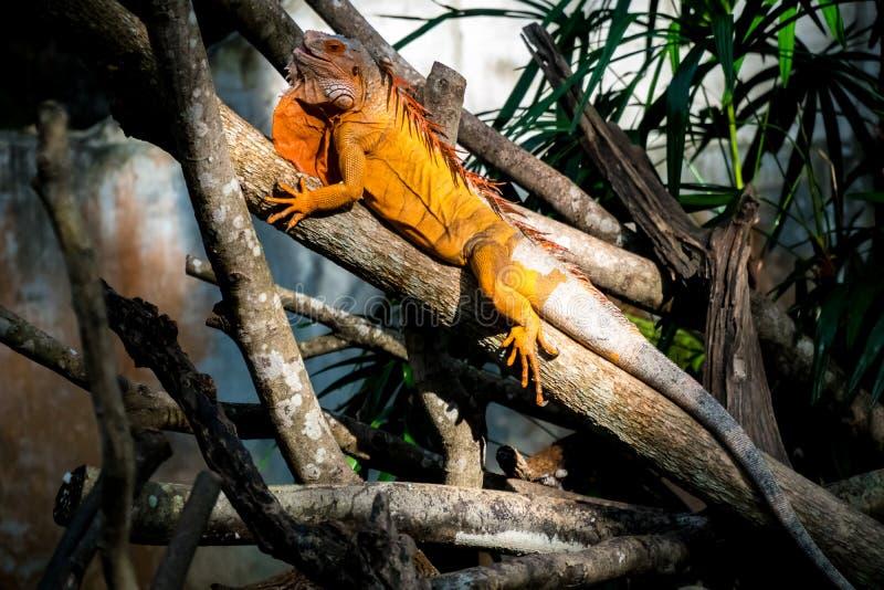 L'iguane est exposé au su photos libres de droits