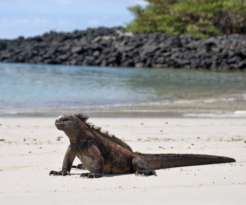 L'iguane marin se reposant sur le sable blanc Les îles de Galapagos L'océan pacifique l'equateur photo stock