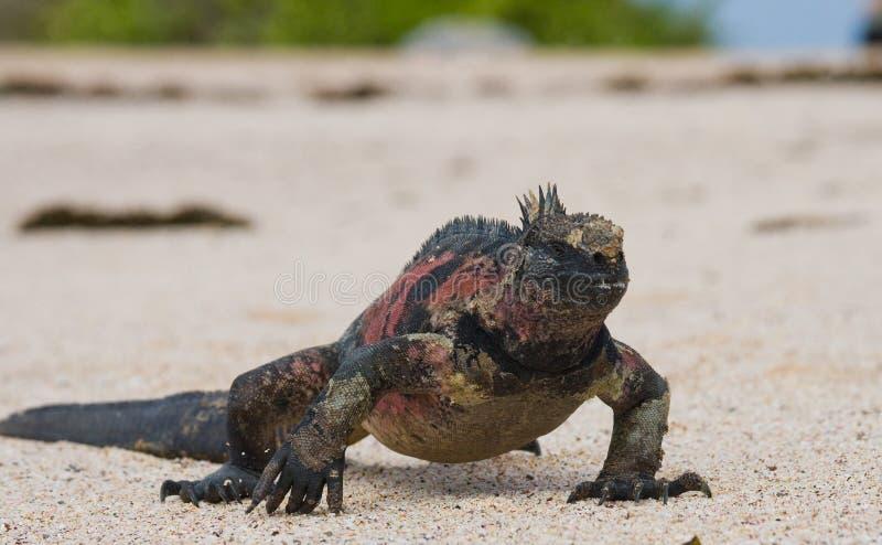 L'iguane marin se reposant sur le sable blanc Les îles de Galapagos L'océan pacifique l'equateur photos libres de droits