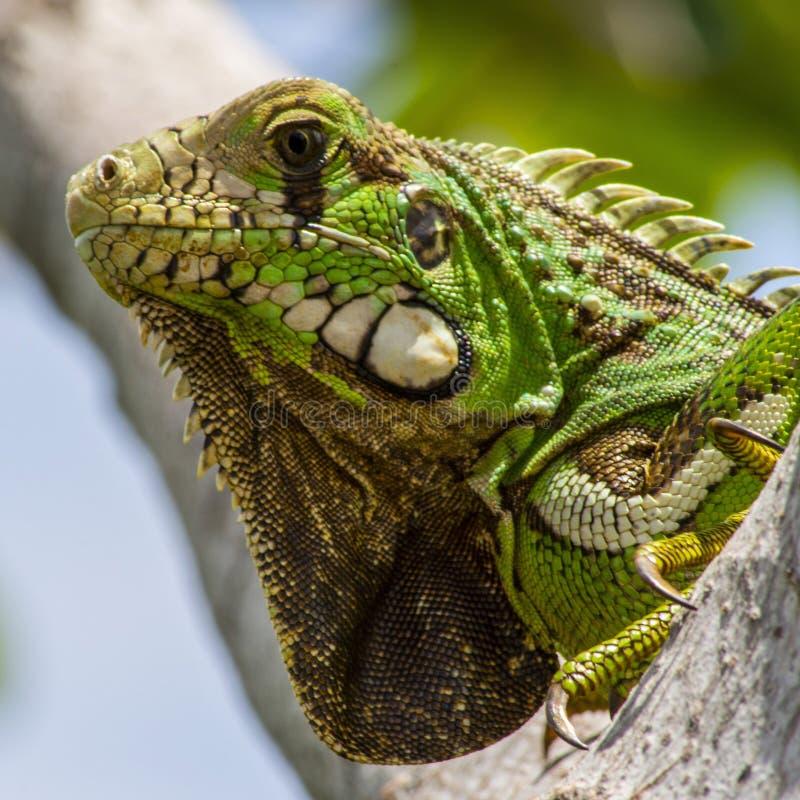L'iguane vert photographie stock