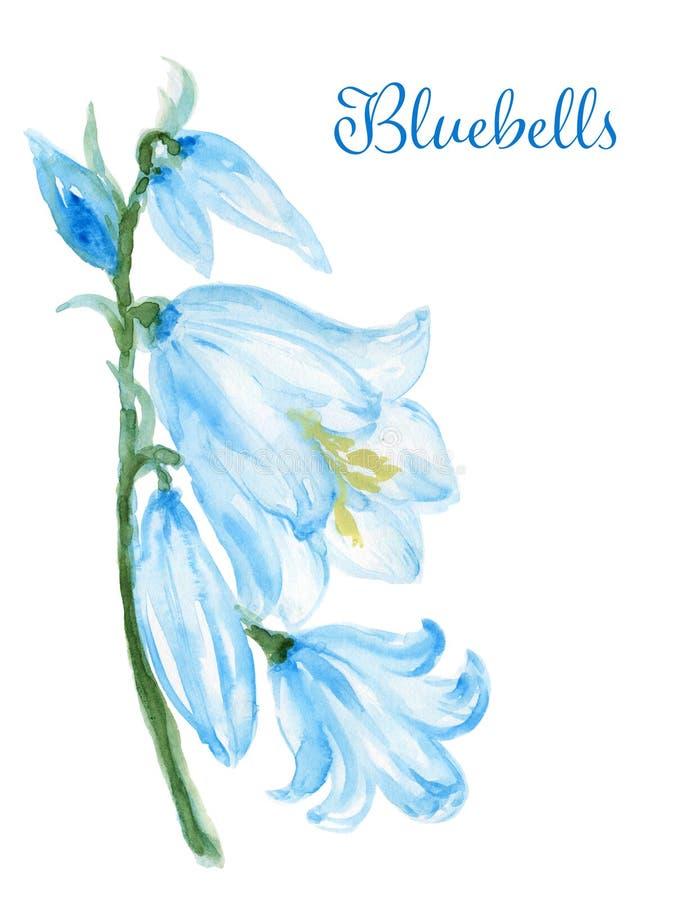 L'illustration tirée par la main de fleur de jacinthe des bois d'aquarelle a peint les herbes botaniques de campanule d'isolement illustration stock