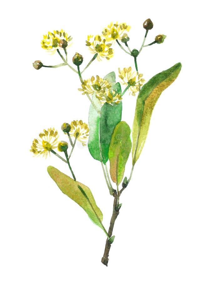 L'illustrazione dell'acquerello della pianta del tiglio ha isolato royalty illustrazione gratis