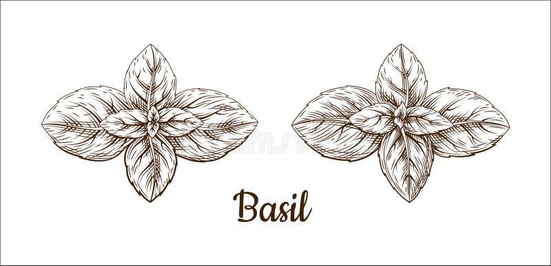 L'illustrazione dell'inchiostro del basilico Retro stile illustrazione vettoriale