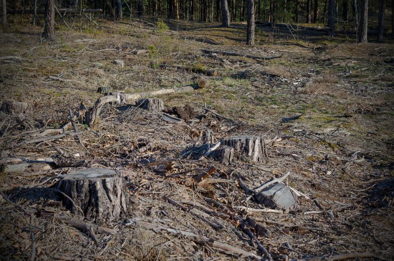 L'image après l'abattage est beaucoup de tronçons des arbres coniféres restant dans la terre image stock