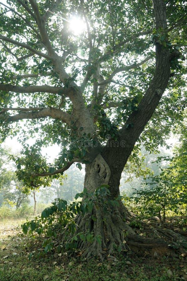 L'image de la greffe naturelle de deux arbres photo stock