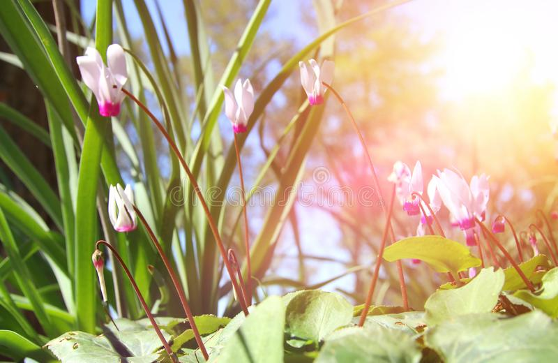 l'image de vue d'angle faible du cyclamen frais d'herbe et de ressort fleurit concept de liberté et de renouvellement Foyer sélec images stock