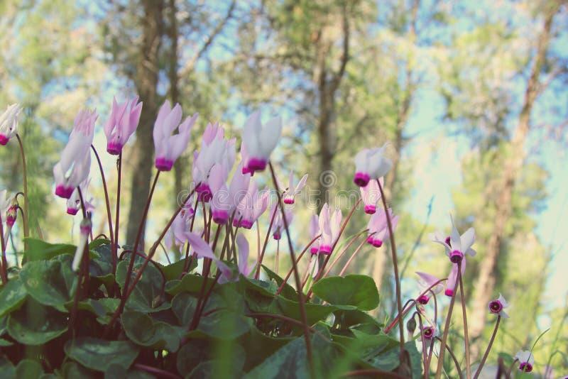 l'image de vue d'angle faible du cyclamen frais d'herbe et de ressort fleurit concept de liberté et de renouvellement Foyer sélec photographie stock libre de droits