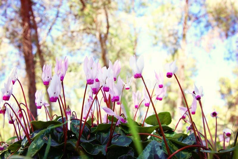 l'image de vue d'angle faible du cyclamen frais d'herbe et de ressort fleurit concept de liberté et de renouvellement Foyer sélec photos stock