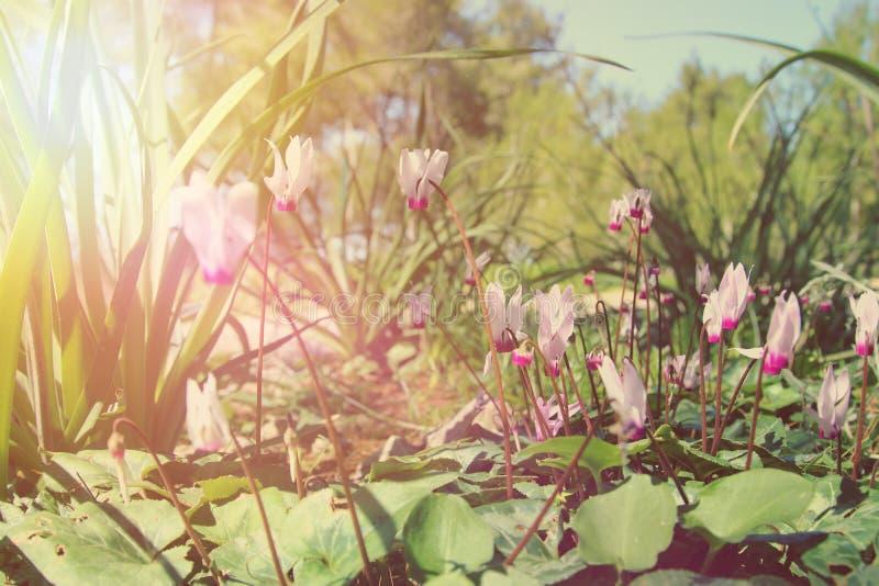l'image de vue d'angle faible du cyclamen frais d'herbe et de ressort fleurit concept de liberté et de renouvellement Foyer sélec photo stock