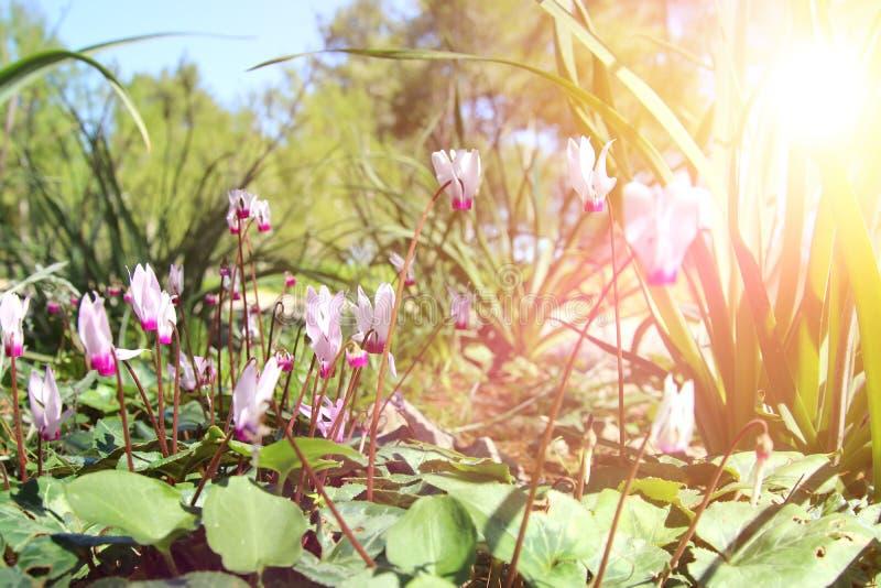 l'image de vue d'angle faible du cyclamen frais d'herbe et de ressort fleurit concept de liberté et de renouvellement Foyer sélec image libre de droits