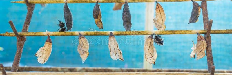 Download L'image Des Chrysalides De Papillon Accrochent Sur Le Bâton En Bois Image stock - Image du cycle, vert: 76088905