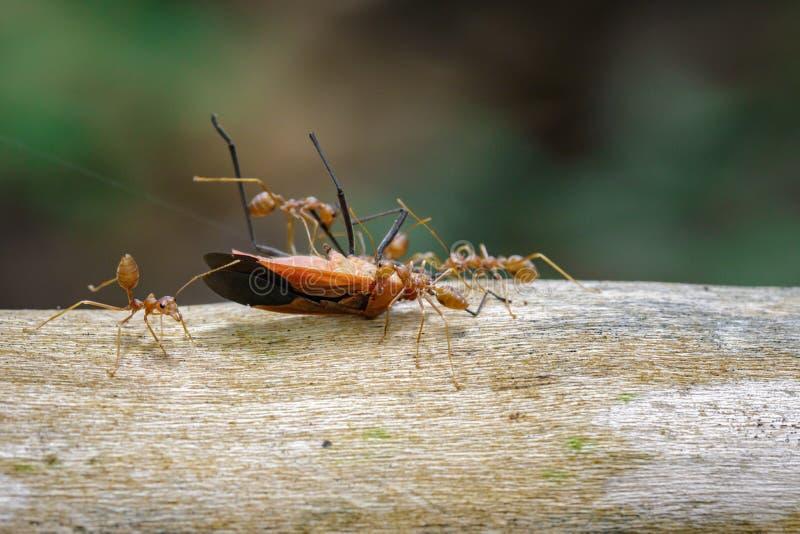 L'image des fourmis rouges mangeant le coton rouge branchent sur table d'écoute sur le fond de nature image stock