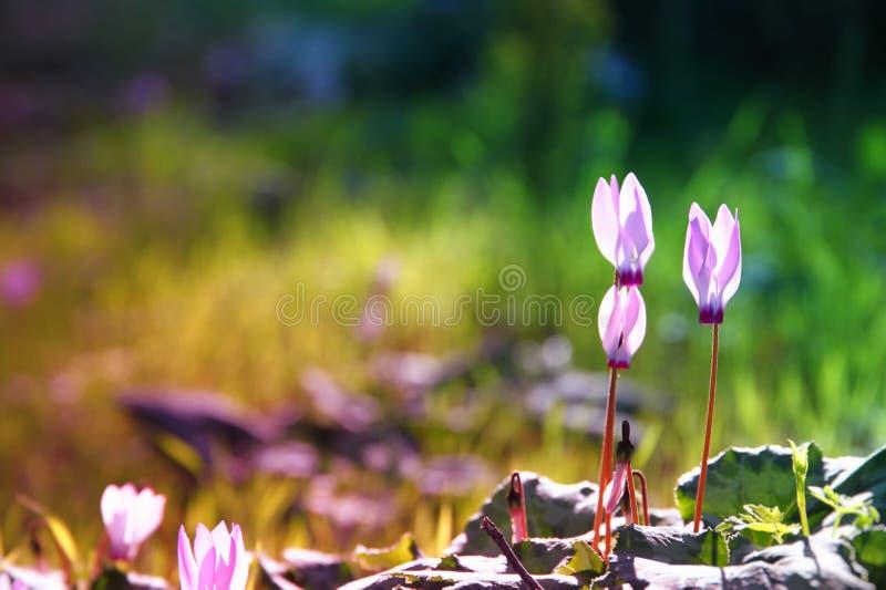 l'image rêveuse du cyclamen fleurit la floraison dans la forêt image stock