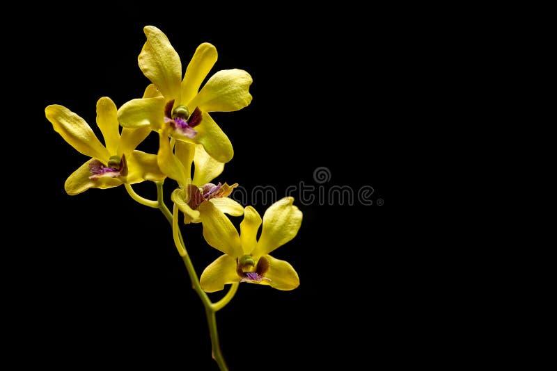 L'image veritcal de l'orchidée jaune sur le fond noir image libre de droits