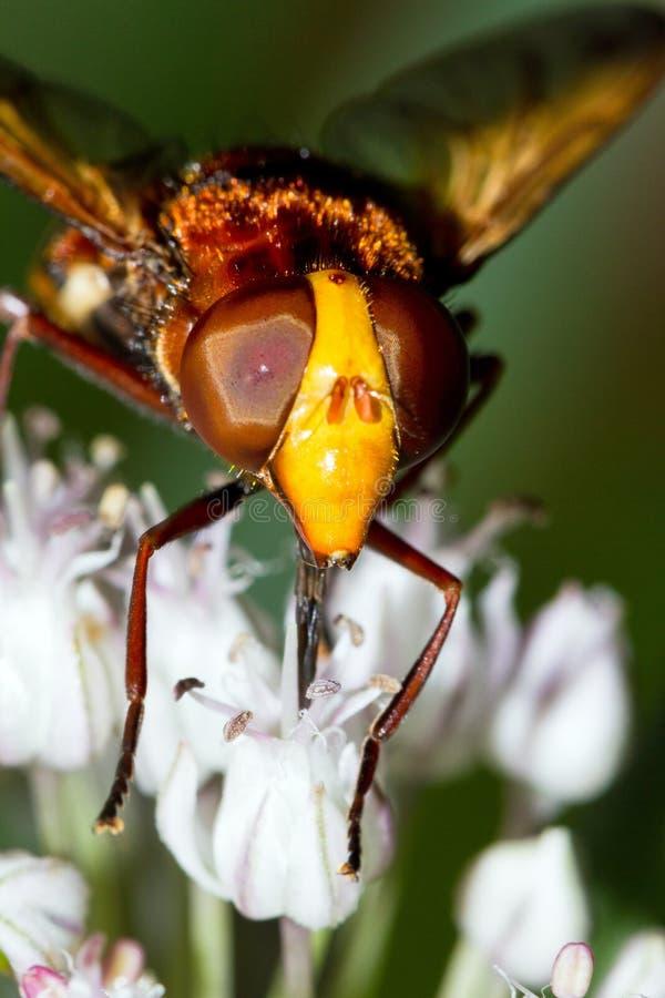 L'imitateur de frelon se ferment hoverfly vers le haut photos libres de droits